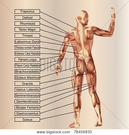 Concept or conceptual strong human or man 3D anatomy body with muscle for health or sport over blue background
