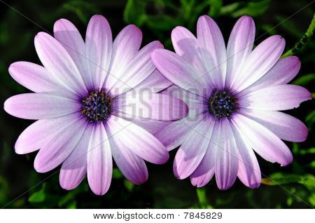 close up of few pink wild daisies poster