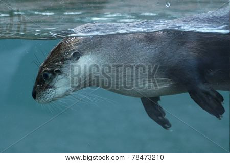 North American river otter (Lontra canadensis). poster