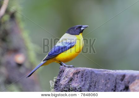 Schwarz-chested Mountain Tanager