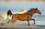 Two horses - one brown and one white running in the water poster