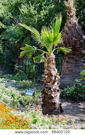 Washingtonia Filamentous