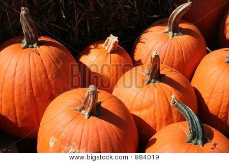 a bunch of ripe orange pumpkins in a patch.