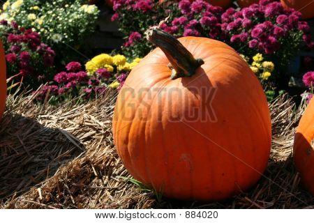 a ripe orange pumpkin in a patch.