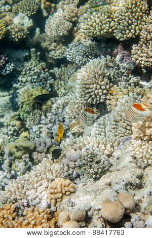 Red sea coral reef fishes