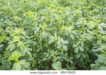 Medicago Sativa (alfalfa)