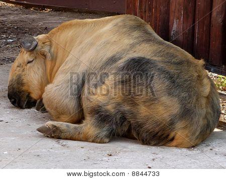Sleeping Tibetan Takin