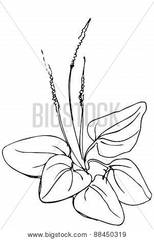 black and white vector sketch of medicinal plant plantain poster