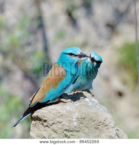 european roller (coracias garrulus) in natural habitat in spring