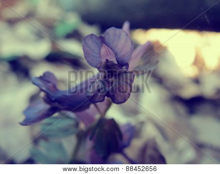 Corydalis in the forest