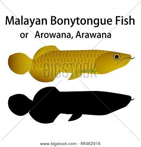 Malayan Bonytongue fish