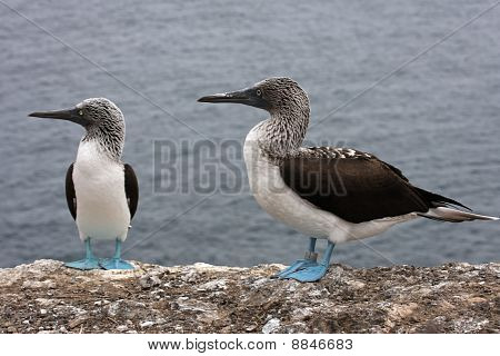 Blue Footed Booby on the sea shore of Ecuador poster