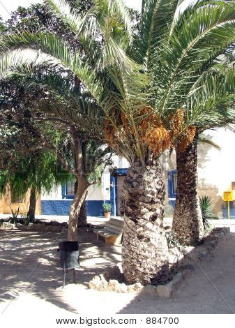 Tarbacca Date Tree