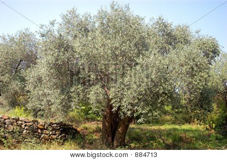 Olive Tree And Stones