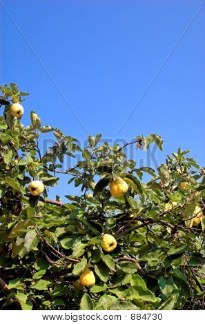 Plant A Quince