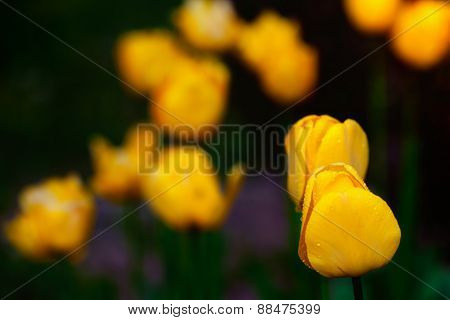 Yellow spring tulips in garden