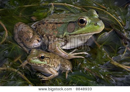 Baby And Adult Bullfrogs