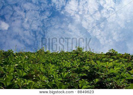 Efeu und ein blauer Himmel