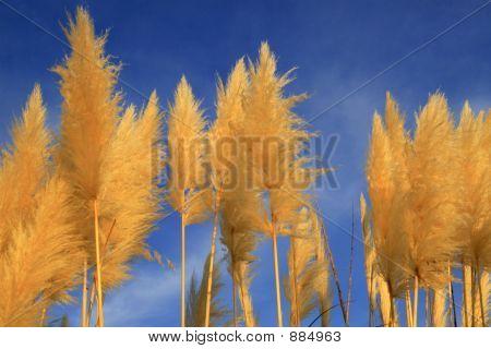 Pampas Grass Minorca