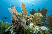Underwater Coral gardens off the coast of Roatan Honduras poster