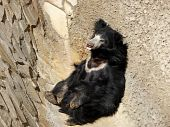 Lonely black bear sleeps in a corner of stone wall poster