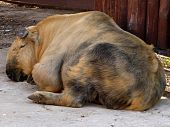 Sleeping Tibetan takin on the ground at Moscow zoo poster