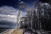 Image of the famous ghost forest on the coast of Nienhagen on the Baltic Sea poster
