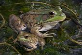 A baby and adult bull frog are sitting in a pond full of weeds. poster