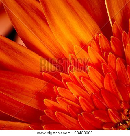 Orange Gerbera Flower CloseUp Detail Petals Background