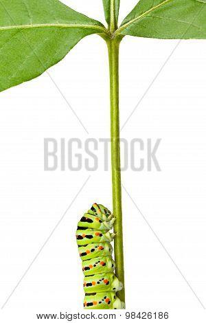 Macro Of Caterpillar On Stem