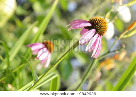 Echinacea purpurea or purple coneflower