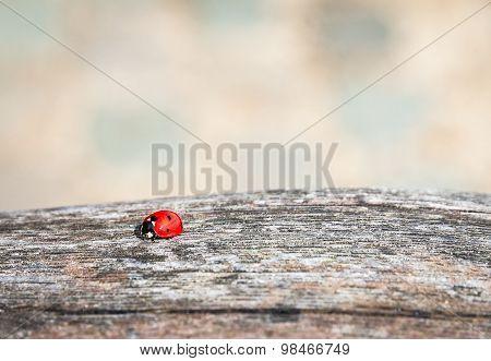 Ladybug Walking Along Weathered Old Wooden Board