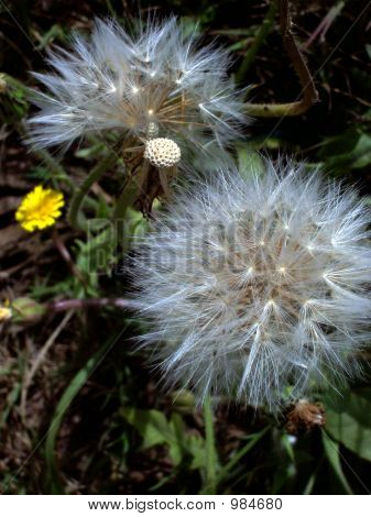 Dandelion Seed And Flower