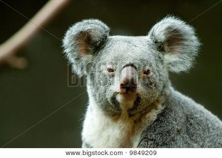 A Koala Sitting On A  Tree.