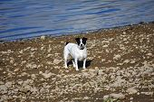 a black and white jack russle dog on a lake shore poster