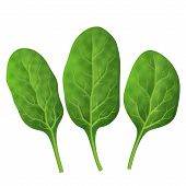 Fresh green spinach isolated on white background. Qualitative vector illustration for agriculture vegetables cooking health food gastronomy olericulture etc. It has transparency blending modes mask gradients poster