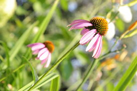 Echinacea purpurea or purple coneflower