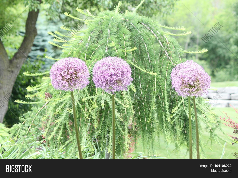 Alliums Known Ornamental Onions Image Photo Bigstock