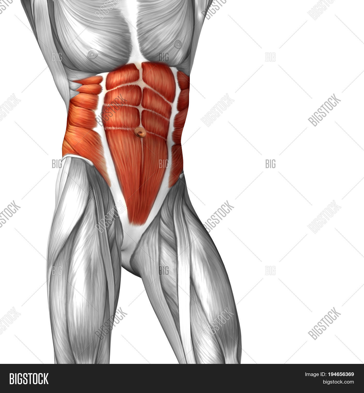 concept conceptual 3d illustration chest fit strong human anatomy or  anatomical and gym muscle isolated,