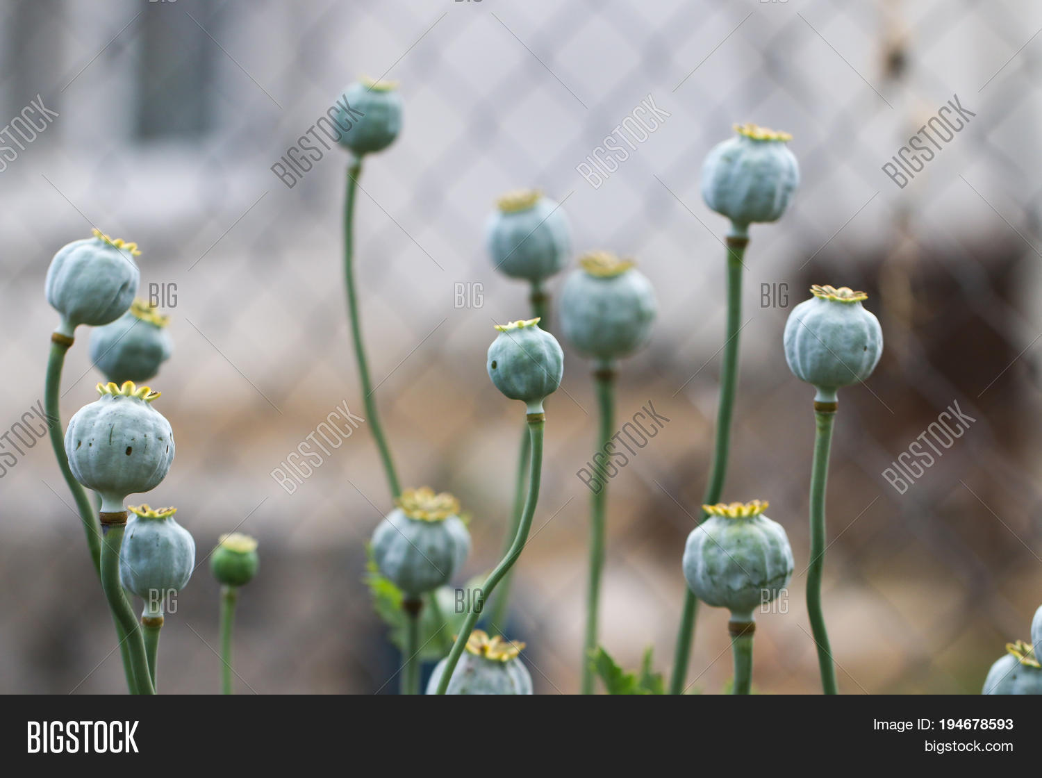 Poppy Papaver Image Photo Free Trial Bigstock