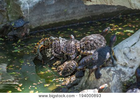Group Turtles In The Sun On Pond