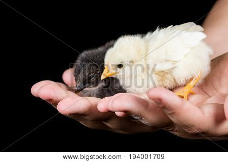Little baby chickens in the kids hands with black background