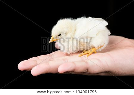 Little yellow baby chicken in the kids hand with black background
