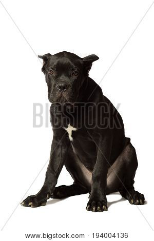 Puppy age 3 months of Cane Corso breed of black color isolated on white