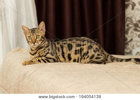 Bengali cat at the age of 5 months is lying on the sofa resting after playing