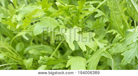 Rucola in the detail - fresh leaves