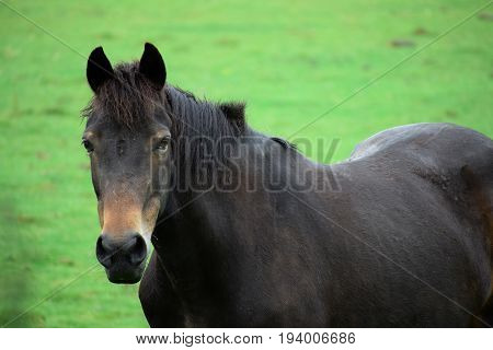A Beautiful Black Horse Head Portrait in a green field looking at the camera.