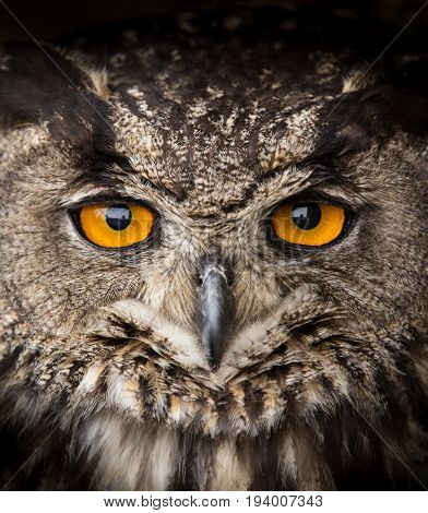 Face portrait of Eagle Owl, Bubo bubo, close-up.