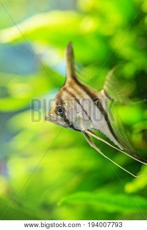 Angelfish Pterophyllum scalare in aquarium  - close up