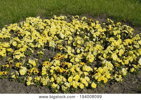 Yellow Flowers Of Viola On The Flowerbed. Viola.